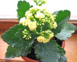 Каланхоэ блоссфельда хорошо цветет на северном окне