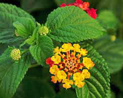 Цветок лантана