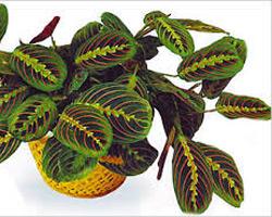 Маранта декоративно-лиственное домашнее растение