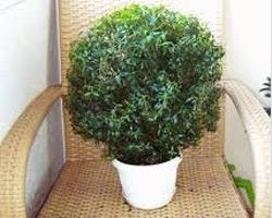 Южное вечнозеленое растение мирт