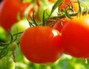 помидор теплолюбивое растение