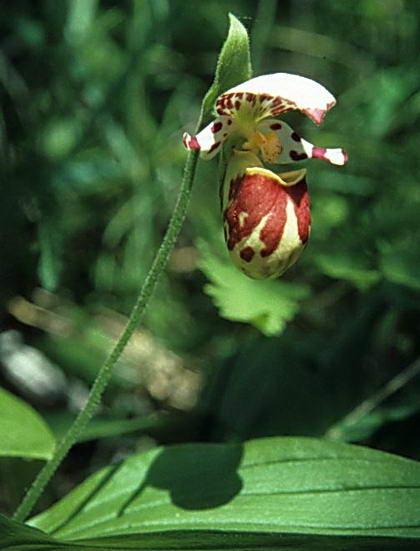 Орхидея башмачок пятнистый из Красной книги