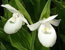 Цветок венерин башмачок