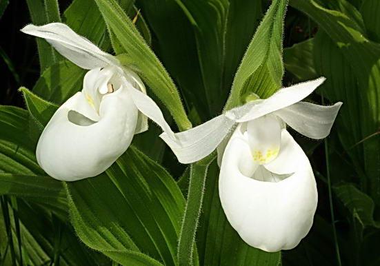 Венерин башмачок цветы