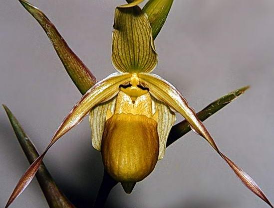 Орхидея Фрагмипедиум