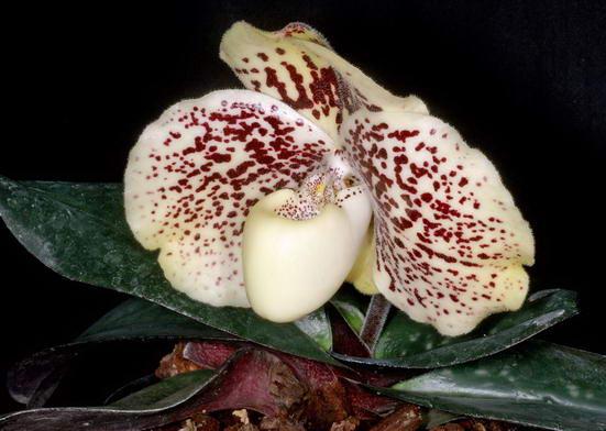 Фотография орхидеи Пафиопедилум